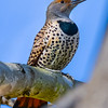 S01-320-Northern Flicker-LB-110015-D6297