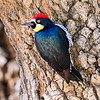 S01-309-Acorn Woodpecker-IRV-022415