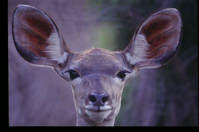 Kudu portrait (female)