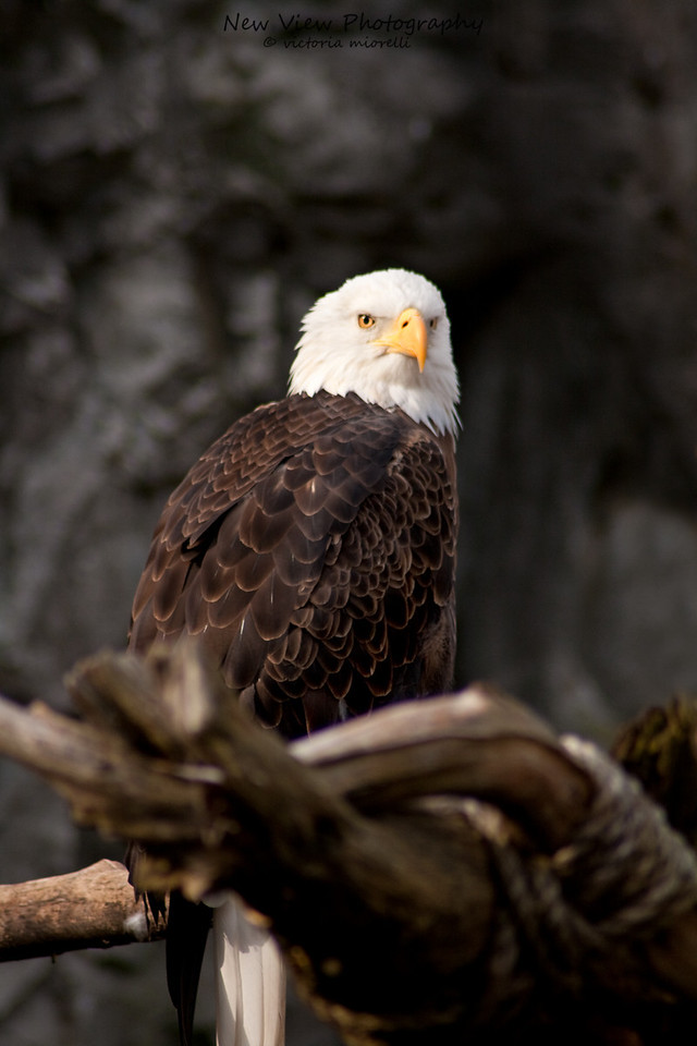 """Regalus"" American Bald Eagle<br /> <br /> Captured at Roger Williams Zoo, Providence, Rhode Island."