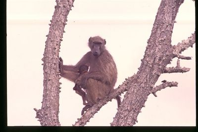 Chacma Baboon (female with baby)