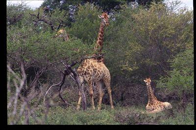 Giraffe family group