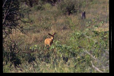 Steenbok (in the open - fully grown)
