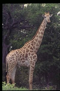 Giraffe (male)