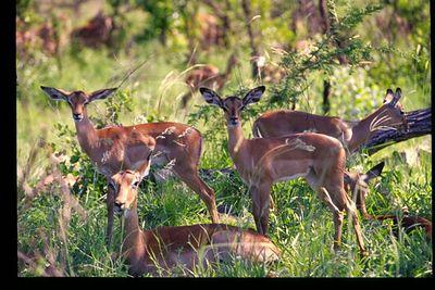 Impala (females)