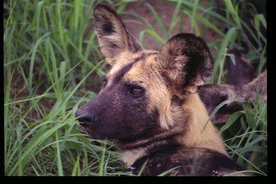 Rare Wild Dog