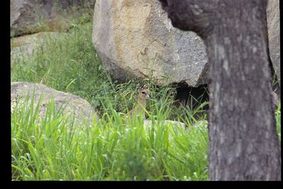 Klipspringer (male in hiding)
