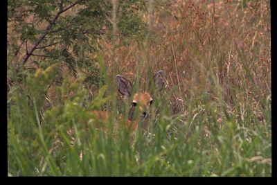 Steenbok (in hiding)