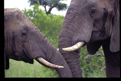Meeting of two Friendly Elephants