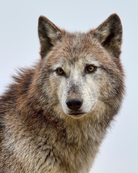 """Alpha Female""<br /> Wolf Creek Habitat<br /> Brookville, IN"