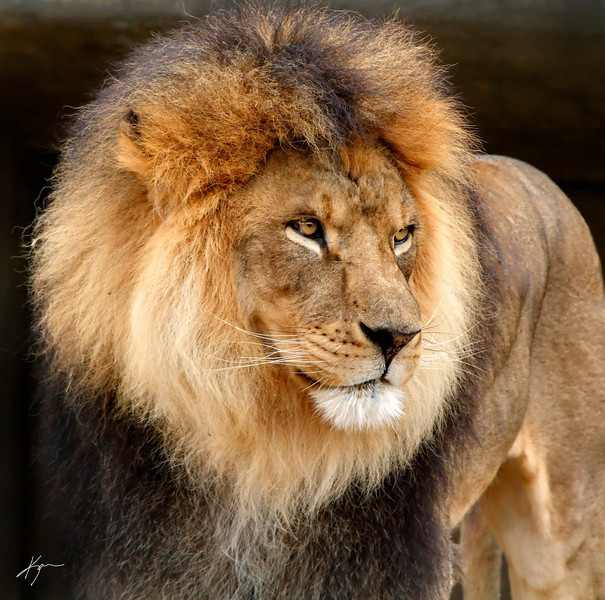 """Kenya<br /> Male Lion<br /> Louisville Zoo"