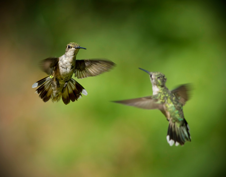 """The Showdown""<br /> Ruby -Throated Hummingbirds"
