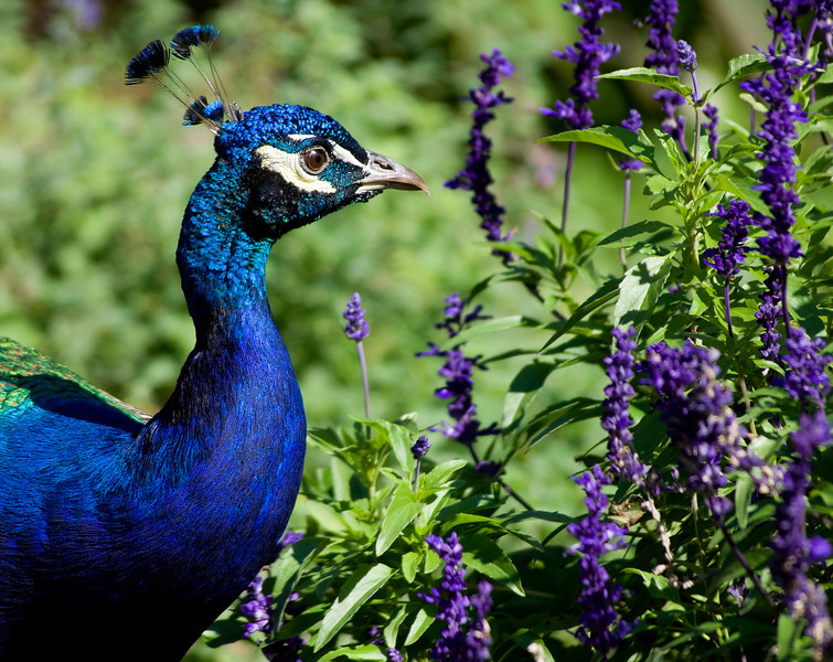 Peacock & Salvia<br /> Cincinnati Zoo