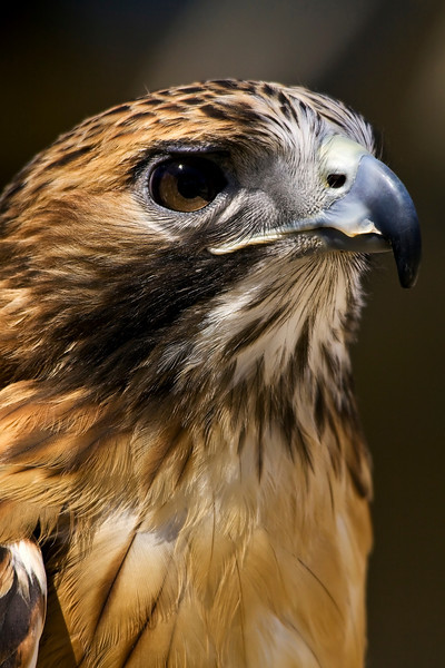Red Tail Hawk<br /> Louisville Zoo