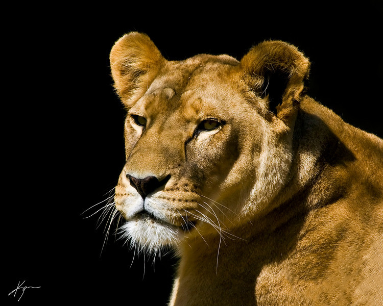 Lioness<br /> (Louisville Zoo)