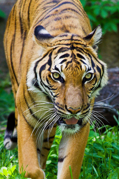 Malayan Tiger<br /> (Cincinnati Zoo)