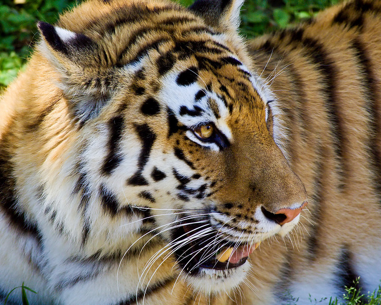 Amur Tiger<br /> (Louisville Zoo)