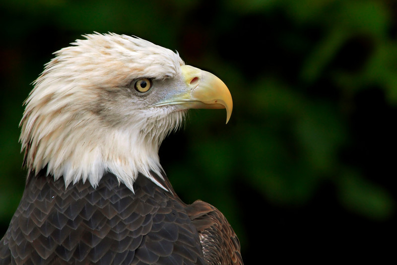 Bald Eagle<br /> Louisville Zoo