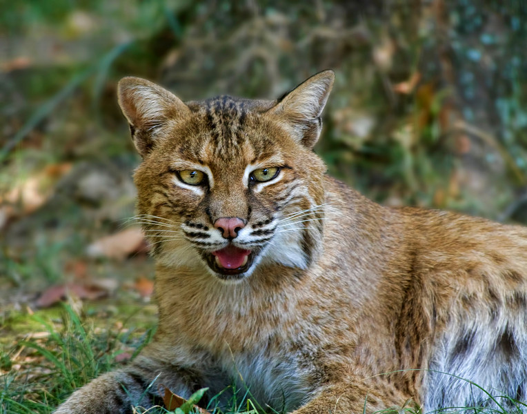 """Bobcat""<br /> Woodlands Nature Station<br /> Land Between the Lakes, KY"