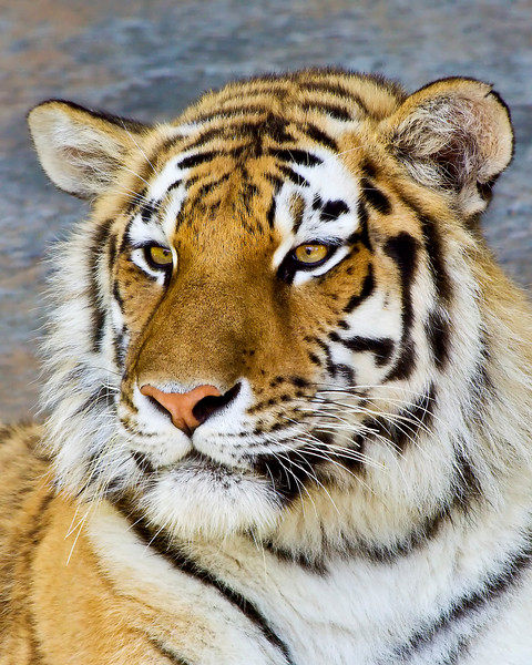 """Etta""<br /> Amur Tiger  - Female<br /> Louisville Zoo"