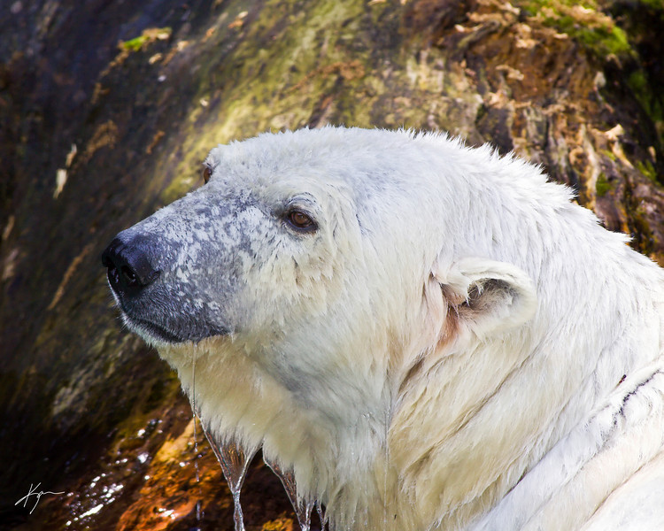 Polar Bear<br /> (Cincinnati Zoo)