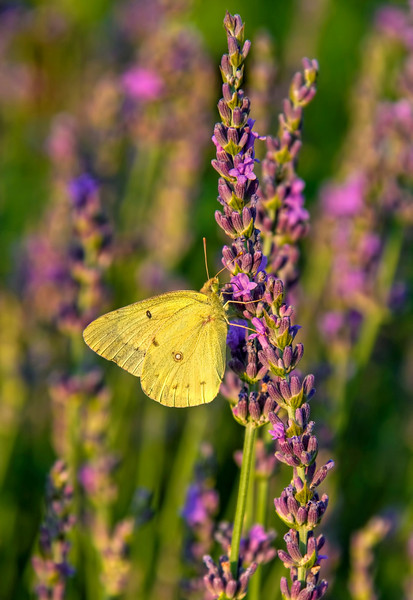 """Sulphur Butterfly & Lavender""<br /> The Arboretum<br /> Lexington, KY"
