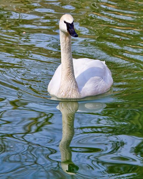 Swan<br /> Louisville Zoo