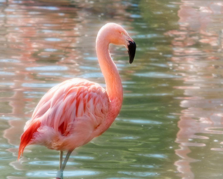 Flamingo<br /> Louisville Zoo