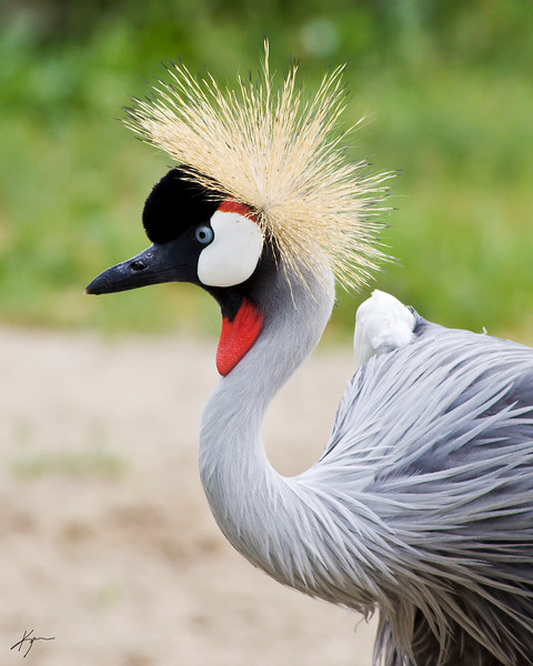 East African Crowned Crane<br /> (Louisville Zoo)