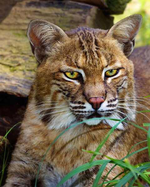 Bobcat<br /> Nature Station - LBL