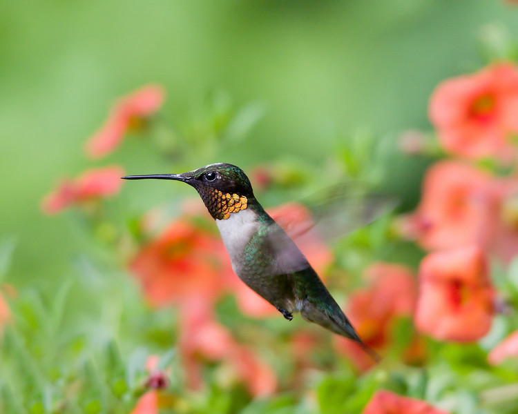 Ruby Throat Humming Bird