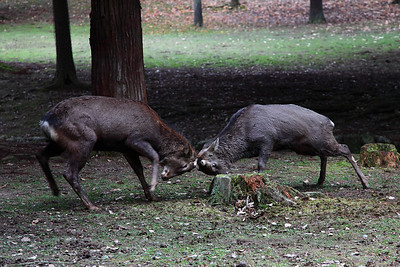 Deer fight in Nara, Japan - in the middle of the parc!