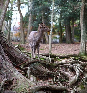 Free roaming deer in Nara, Japan