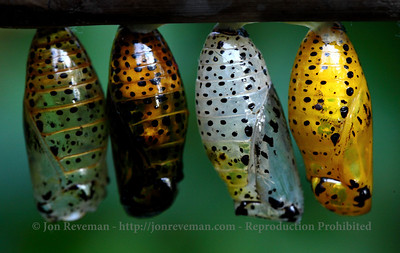 Butterfly cocoons