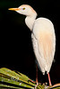 Side Profile of a Cattle Egret - Alligator Farm, St  Augustine Florida - Photo by Pat Bonish