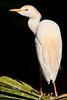 Side Profile of a Cattle Egret - Alligator Farm, St  Augustine Florida - Photo by Pat Bonish