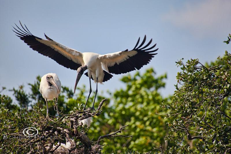 Wood Stork Returning to the Nest - Alligator Farm, St  Augustine Florida - Photo by Pat Bonish