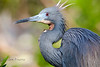 Spiky Hair of a Tri-Colored Heron - Alligator Farm, St  Augustine Florida - Photo by Pat Bonish