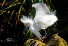 Fluffed Up and Showing Off - Egret trying to impress the camera - Alligator Farm, St  Augustine FL - Photo by Pat Bonish