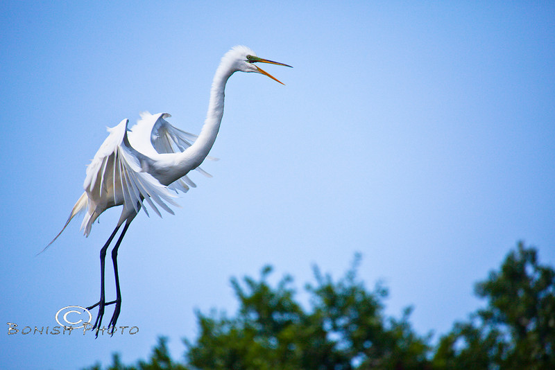 Leaping Snowy Egret - Alligator Farm, St  Augustine Florida - Photo by Pat Bonish