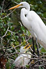 Mother & Chick - Snowy Egret with Baby - Alligator Farm, St  Augustine Florida - Photo by Pat Bonish