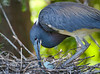 Tending to Her Eggs - Tri-Colored Heron in the Alligator Farm, St  Augustine Florida - Photo by Pat Bonish