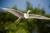 Soaring Egret - Alligator Farm, St  Augustine Florida - Photo by Pat Bonish