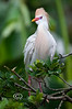 Cattle Egret - Alligator Farm, St  Augustine Florida - Photo by Pat Bonish