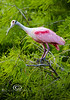 Roseate Spoonbill in the Cypress - Alligator Farm, St  Augustine Florida - Photo by Pat Bonish