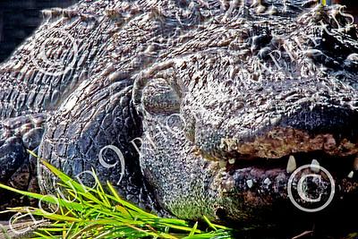 Alligator 00011 A tight crop of a big, old, alligator at rest, by Peter J Mancus