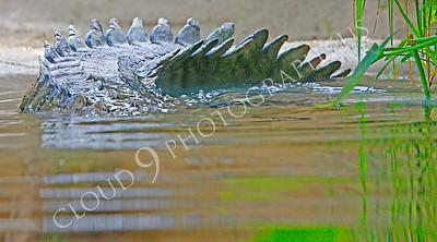 Alligator 00008 by Peter J Mancus