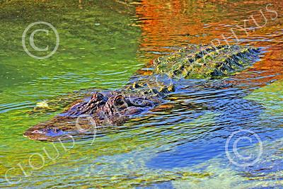 Alligator 00010 A floating alligator, by Peter J Mancus