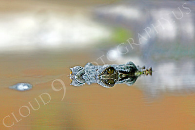 Alligator 00002 by Peter J Mancus