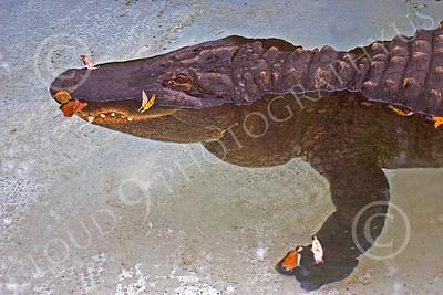 Alligator 00013 A floating juvenile alligator at rest, by Peter J Mancus